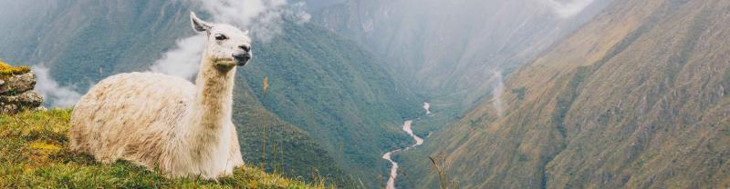 Llama rests on the mountains near Machu Picchu