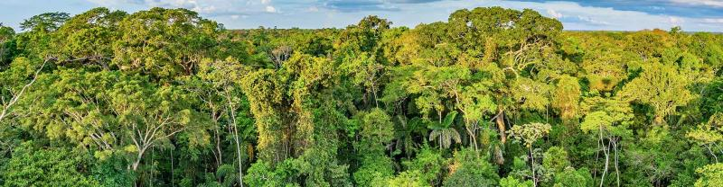 A canopy of trees in the Amazon Jungle