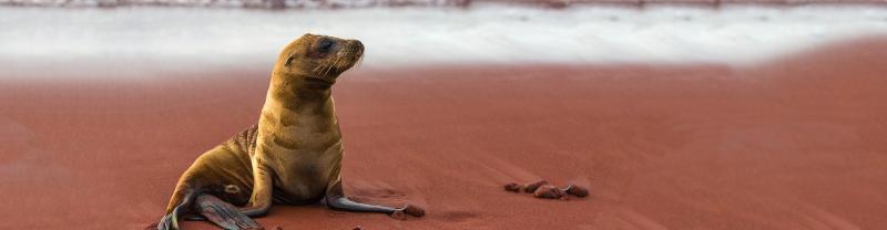 Baby sea lion on rust beach, Isla Rabida, Galapagos Islands