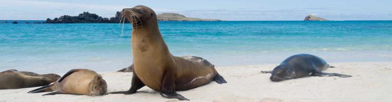 Seals sunbathe on beach with white sand and blue waters of Galapagos Islands