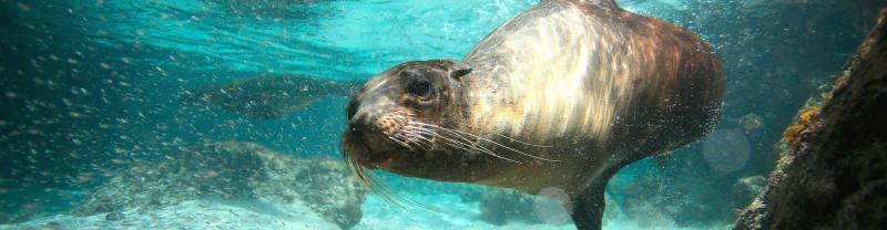 galapagos_sea-lion_ocean-swimming