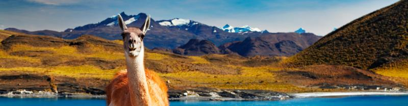 Llama standing in front of mountains in Torres del Paine NP, Chile