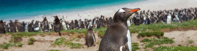 A Gentoo penguin on Bleaker Island in the Falkland Islands