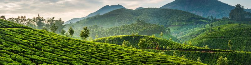 Tea plantation banner