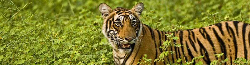 Ranthambore tiger banner