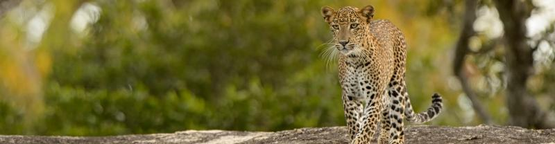 Sri Lanka, Kumana National Park, Leopard