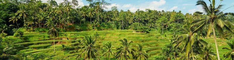 beautiful rice field in Ubud, Bali