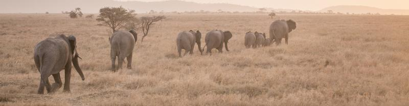 Elephant Herd in Serengeti