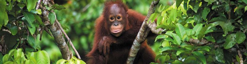 borneo_orangutan