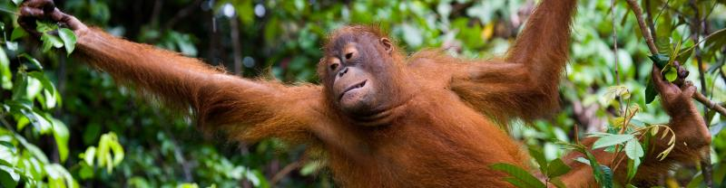 The amazing and beautiful Orangutans of Borneo