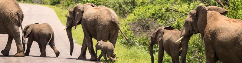 Elephant herd crosses road in Kruger National Park