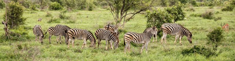 Zebra herd grazes in Kruger National Park
