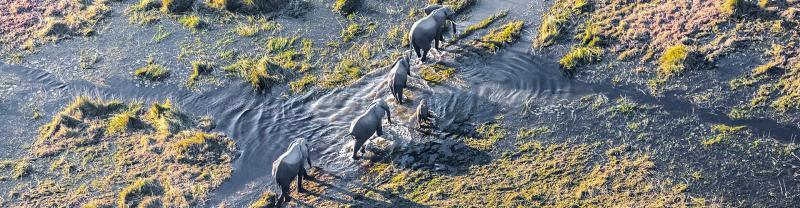 Elephants crossing Okavango Delta in Botswana