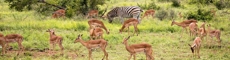 Zebra and group of impalas in Kruger National Park