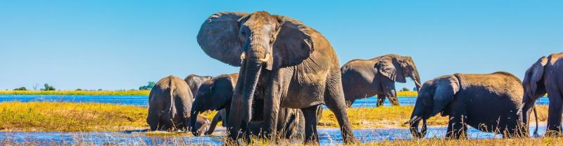 Elephant herd crosses the shallows of Okavango Delta