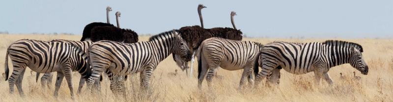 Zebra herd and ostriches in long grass in Etosha National Park