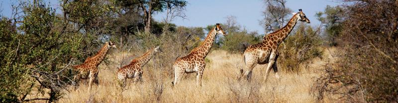 Giraffes in Kruger National Park in South Africa