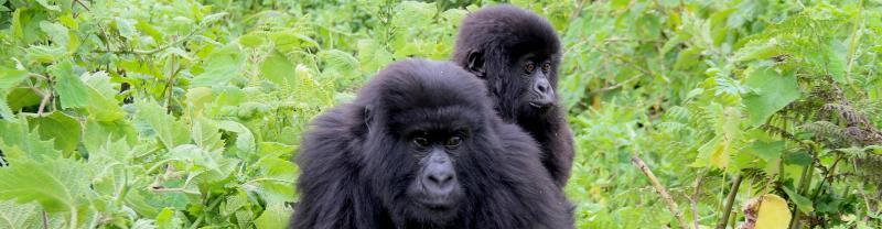 rwanda_gorilla_baby