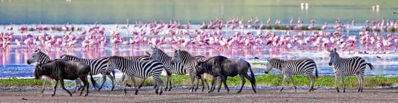 Zebras and flamingos find water to drink from at Ngorongoro crater