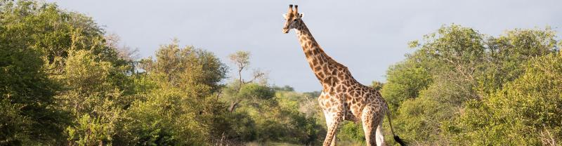 Giraffe crossing road in Kruger NP, Zimbabwe