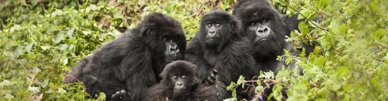 gorilla_family-babies