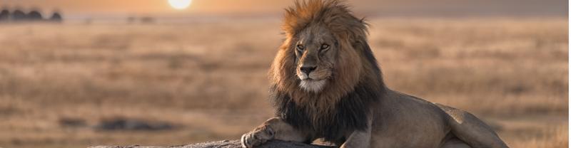 Kenya. lone lion