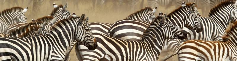 Tanzania Serengeti Zebras