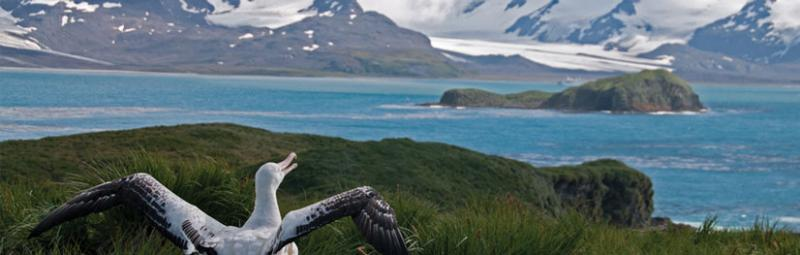 albatross on south georgia island