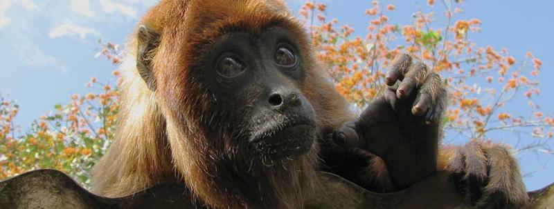 Bolivia, monkey