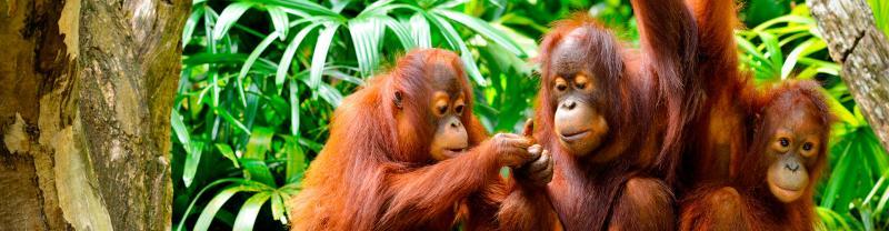 borneo orangutan family in jungle