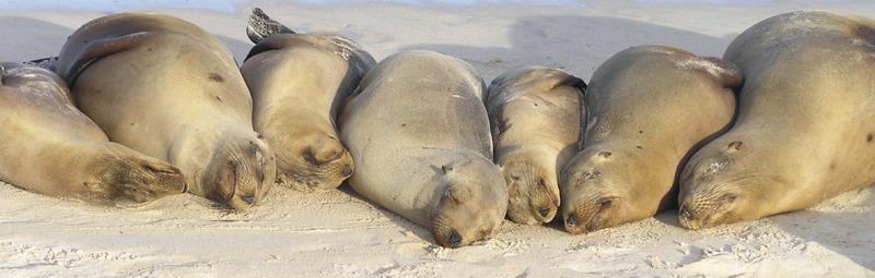 Sleeping seals in a line, galapagos islands