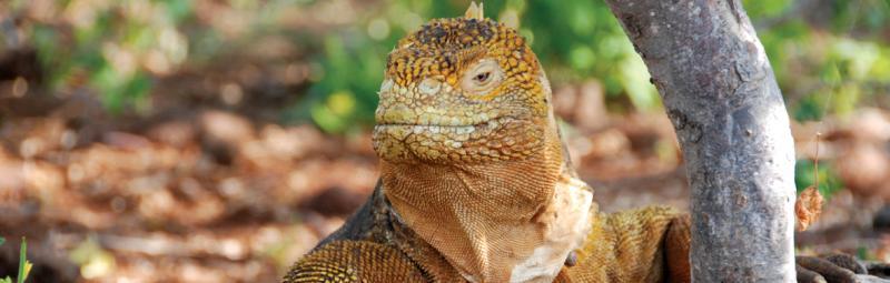 Iguana, Galapagos Island