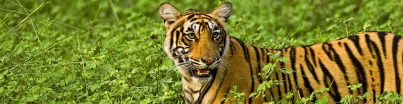 India_rajasthan_tiger