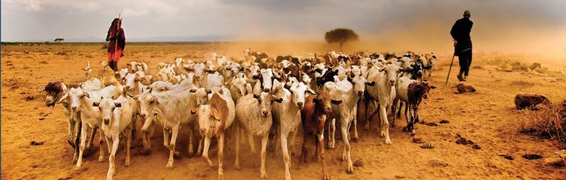 Hearding goats, Kenya