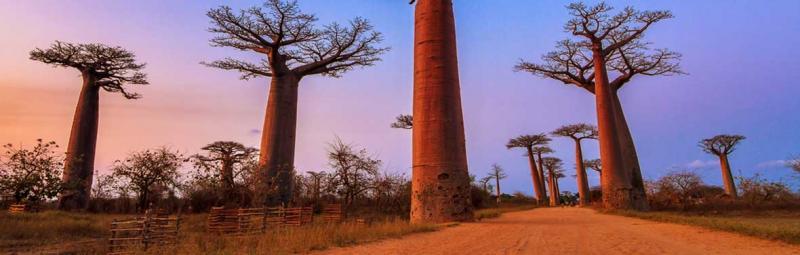Madagascar, boab tree