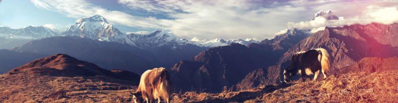 Nepal Annapurna Cows Mountains