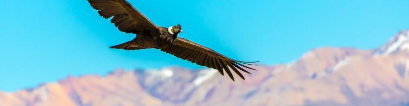 Peru Colca canyon Condor