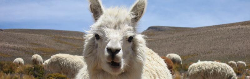 peru_arequipa_alpaca