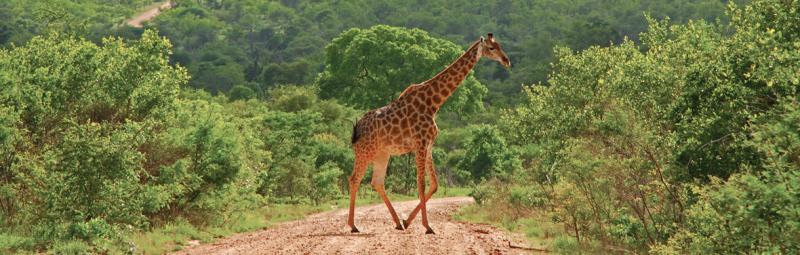 Giraffe crossing the road, Kruger National Park