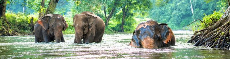 Asian elephants bathing in Northern Thailand