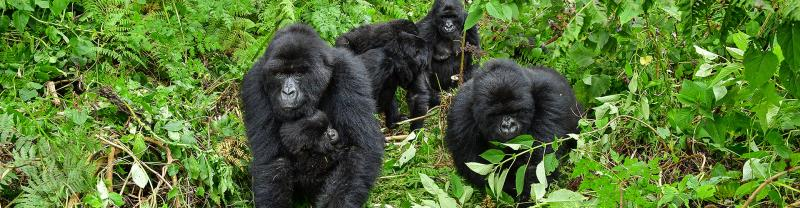 Meet the silverback gorillas of Uganda