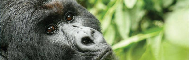 Close up of a Gorilla, Rwanda