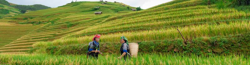 vietnam rice fields women