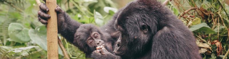 yxog_gorilla_uganda_banner