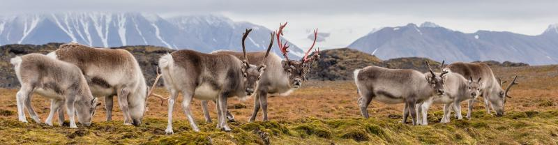 Herd of arctic reindeer feeding on tundra