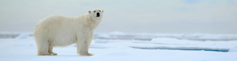 Polar bear stands on ice in the Arctic