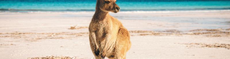 Kangaroo on the beach in Australia