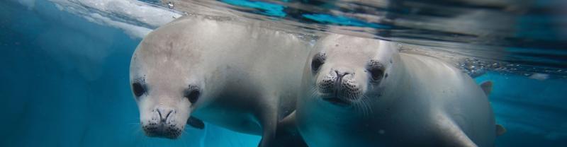 seals swimming underwater