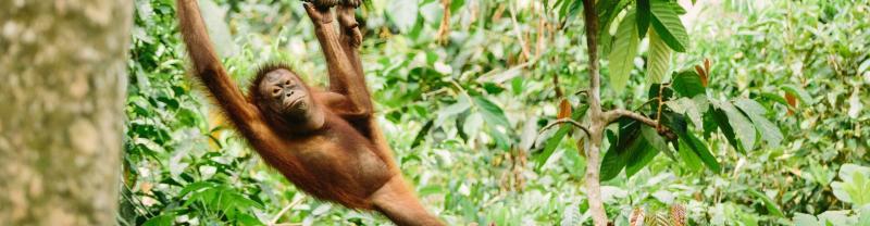 Orangutan hanging from tree, Borneo Malaysia