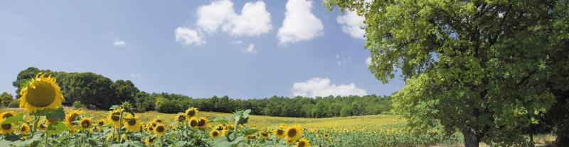 Bright sunflowers in a field in Provincial, France